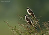 Shrike or Fiscal to be I.D Serengeti.