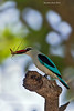 Mangrove Kingfisher with grasshopper.  Tarangiri  Tanzania.