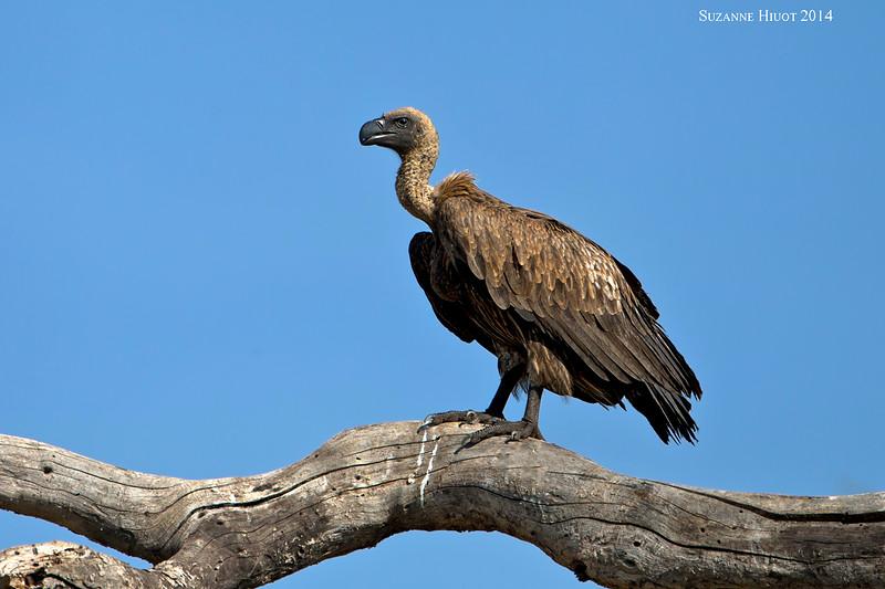 Griffon Vulture . Tarangiri National Park, Tanzania.