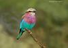Lilac-breasted Roller.  Serengeti.  Tanzania.