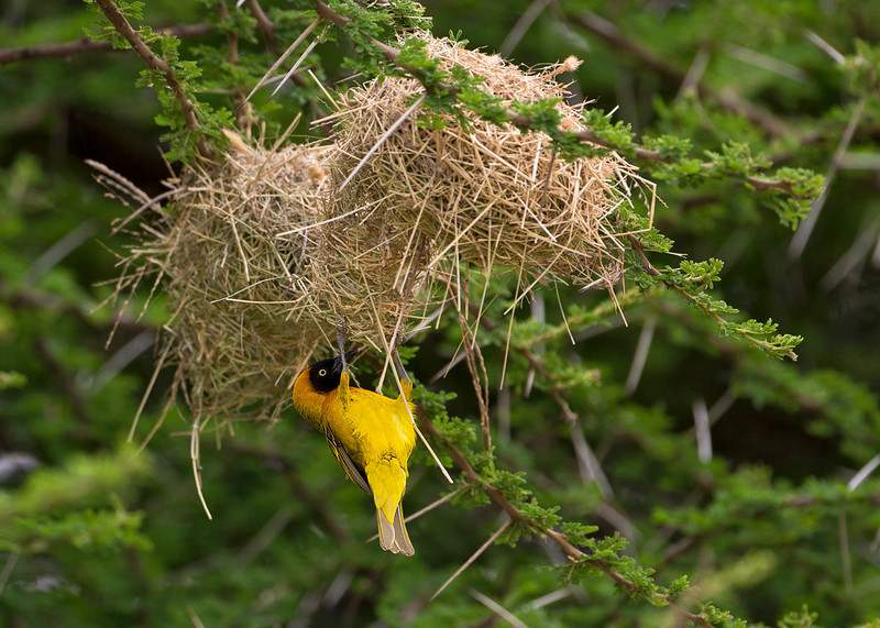 Black-headed Weaver ?   male checking out his nest.