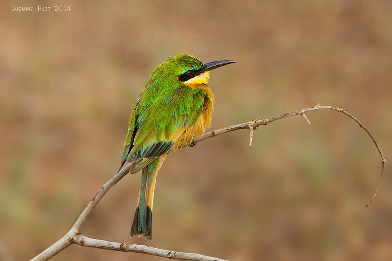 Cinnamon-chested Bee-eater.  Tarangiri National park  Tanzania.