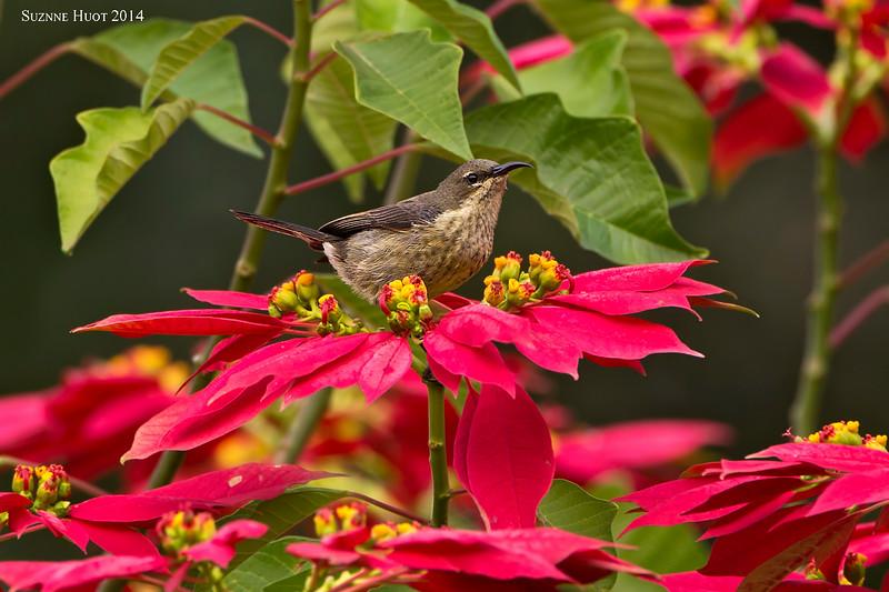 Northern Double-collard Sunbird,  female