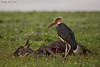 Marabou  Stork  with the carcass of a Wildebeest recently killed by a pride of Lions. Marabou Storks are great scavengers on the plains of the Serengeti.