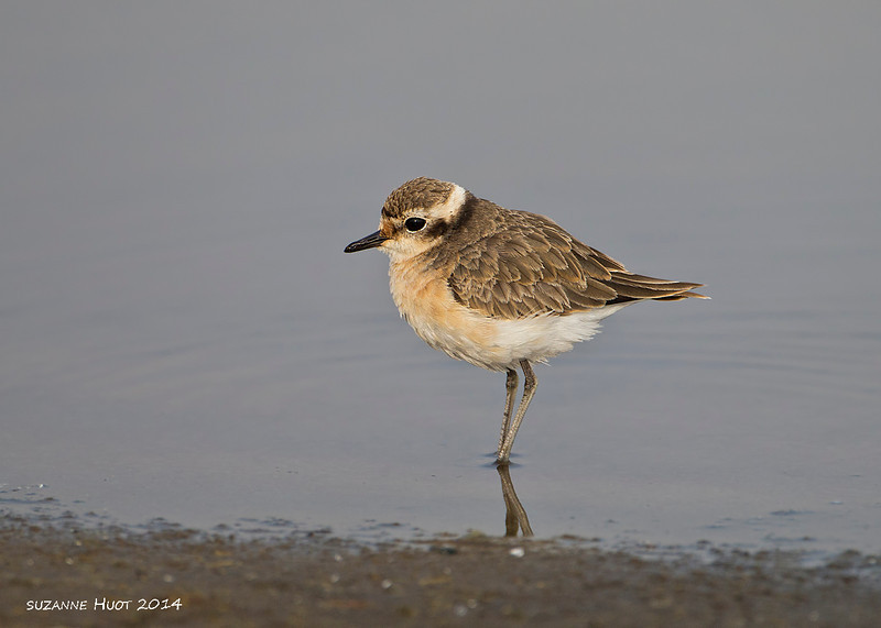 Plover .I.D to come. Serengeti National Park. Tanzania.
