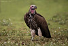 Lappet-faced  Also known as the  Nubian Vulture
