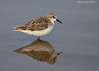 Little Stint ,non breeding plumage ? Serengetti Tanzania.