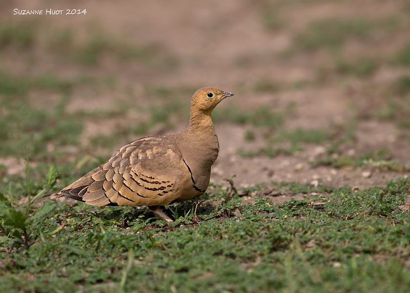 Four-banded Sandgrouse female. ndutu, Tanzania.