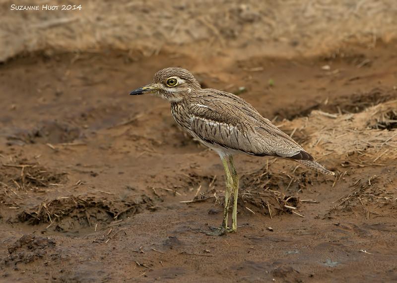 Water Thick-knee.  Serengeti  Tanzania.