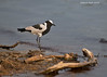Blacksmith Lapwing.