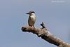 Grey Kingfisher.  Tarangiri  Tanzania.
