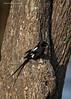 Magpie Shrike. Tarangiri.  Tanzania.