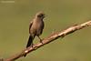 Ashy Starling.  Tarangiri National Park  Tanzania.