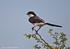Black-headed Shrike.
