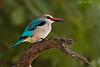 Mangrove Kingfisher.  Tarangiri  Tanzania.