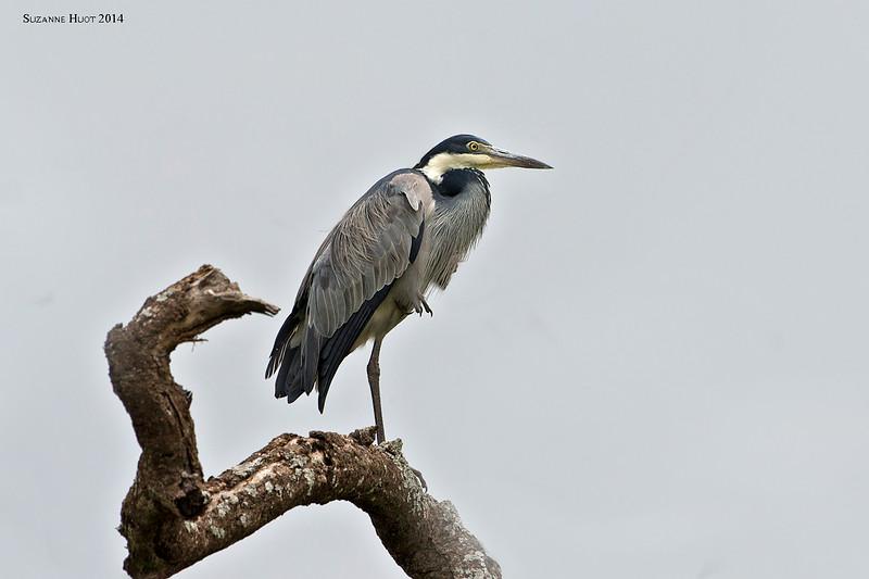 Black Heron.  Serengeti Plains. Tanzania.