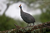 Helmeted Guineafowl in the rain.