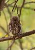 Pearl-spotted Owlet?.  Tarangiri,  Tanzania