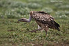 Griffon Vulture in a hurry to share in the remains of the carcase of a Wildebeeste killed by Lions the night before. Wildebeest