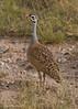 White-bellied Bustard .  Amboseli,  Kenya