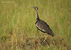 Black-bellied Bustard.