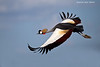 Grey- crowned Crane