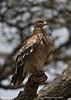 Tawny Eagle ,