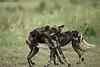 Evening play time for the Wild dog pack of Tarangiri National Park.. Tanzania.