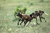 African Wild Dogs at play. Tarangiri  Tanzania