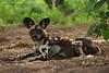 African wild dog. Tarangiri  Tanzania.