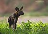 African Wild Dog on the alert.