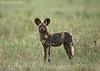 African Wild Dog, Tarangiri National Park  Tanzania.