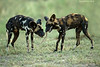 Playtime for this pair of African Wild Dogs.