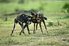 African Wild Dogs feeling playful.  Tarangiri  Tanzania.