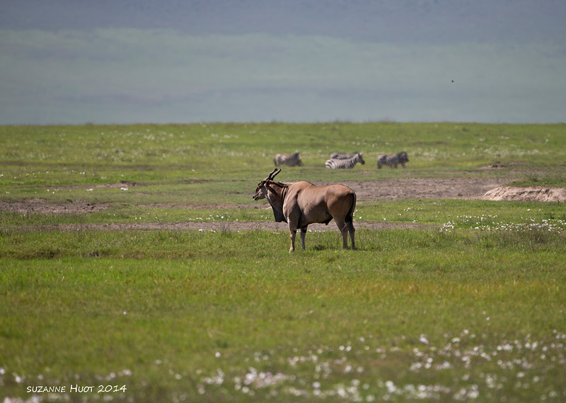 Record shot  from the distance  .Eland are one of the largest of the Antelope family plus one of the shyest.<br /> Ngorongoro Crater. Tanzania.