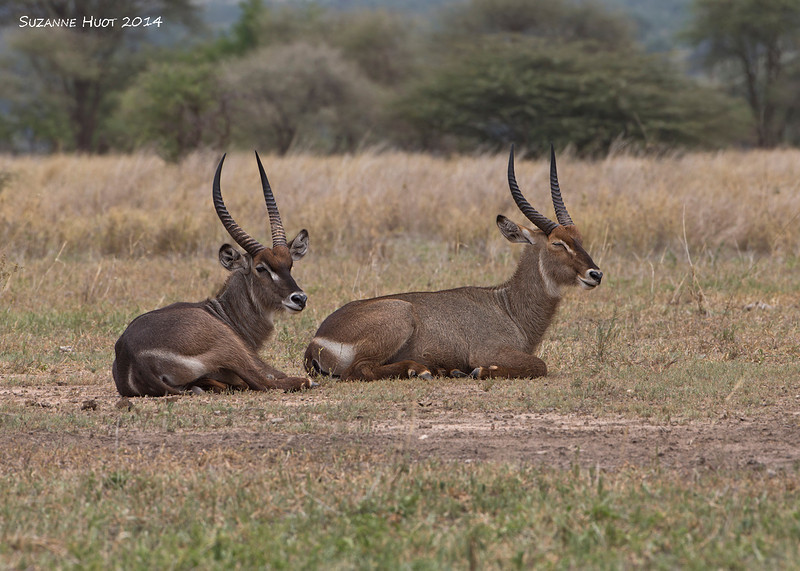 A pair of Waterbuck Stags resting in the early morning Sun .One of the larger  of the Antelopes .