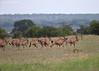 Herd of Eland on the move. Ngorongo Crater. Tanzania.