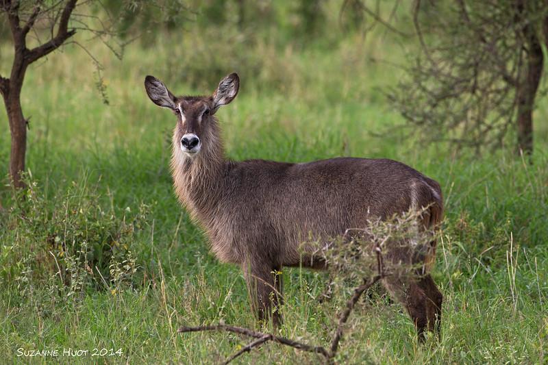 Female Waterbuck.  A large water loving Antelope