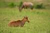 Topi calf  . Masai Mara  Kenya.