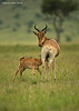 Hartebeest  cow with calf nursing. Masai Mara  Kenya.