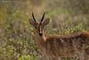 Reedbuck male    Amboseli national Park  Kenya.