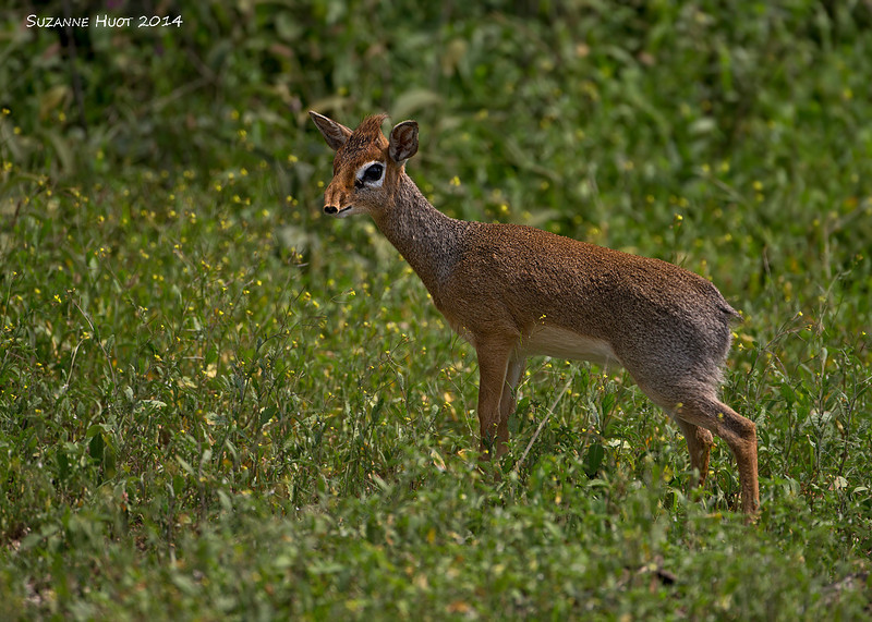 As you can see from the huge eyes this little Dik-dik has,she is mostly nocturnal.