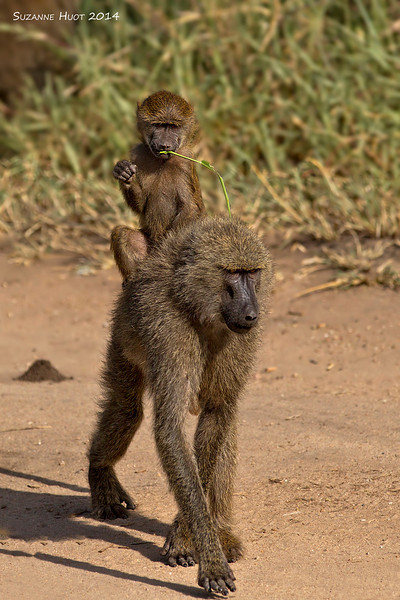Olive Baboon Mom .  Tarangiri National Park Tanzania.