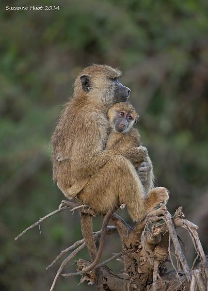 Yellow Baboon Mom and baby .Amboseli, Kenya
