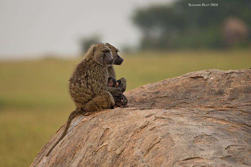 Baboon with baby and Aunt relaxing on a rocky outcrop of rock.  Serengeti  National  Park.