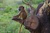 Yellow Baboon juvenile .Amboseli  Kenya