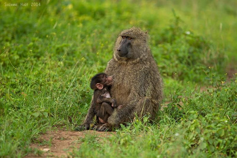 Baboon mother nursing little one.  Serengeti  Tanzania.