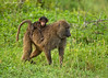 Baby Baboons love to ride on Mother's back.<br /> When newborn they hang onto Mother's tummy.