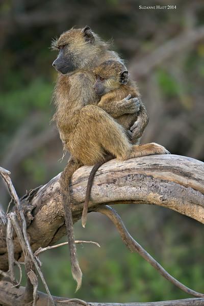 Yellow Baboon with infant. Amboseli , Kenya.
