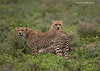 Coalition of 3. brother Cheetahs who hunt together.<br /> Standing over  the body of a young Wildebeest they had successfully hunted down and killed.